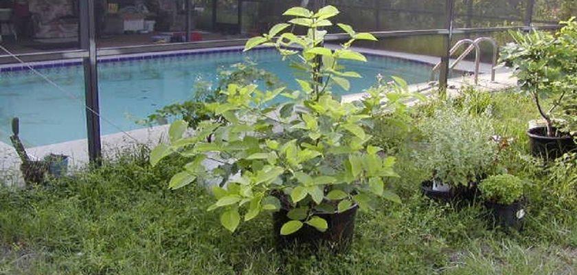 Kratom-Plant