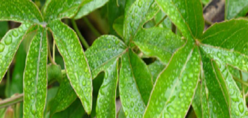 Mytragyna-speciose